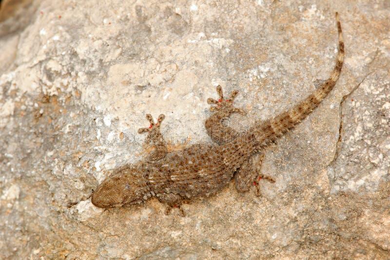 Mauritanica de Tarentola, geco mouro da parede, lagarto de Gargano, Itália Animal no habitat, rocha branca no dat ensolarado quen fotos de stock