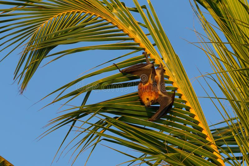 Mauritian flying fox Pteropus niger. Sitting in a palm tree near Le Morne in Mauritius, Africa stock image