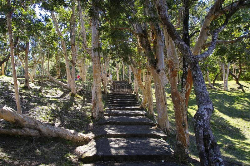 Stairs among the eucalyptus trees with a whitish trunk in front of the jungle in Mauritius island. stock images