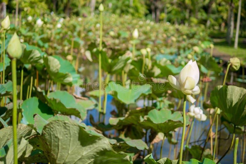 Mauritius Botanical Garden, White Lotus royalty free stock images