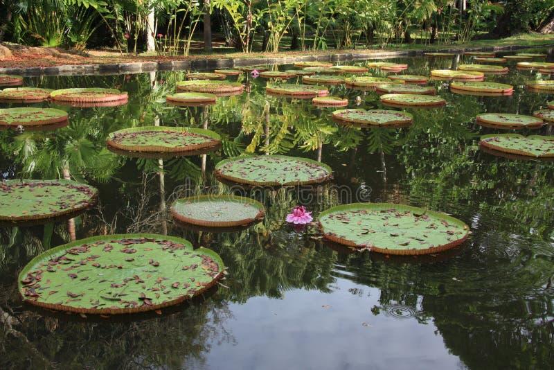 mauritius Hojas de Victoria en el jardín botánico de Pamplemousses imagen de archivo