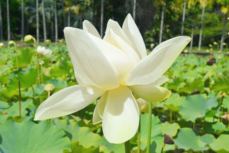 mauritius Lotusblomma för vit blomma i en härlig trädgård fotografering för bildbyråer