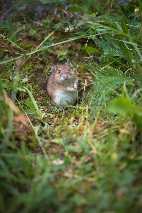 Maus in der Wiese lizenzfreies stockbild
