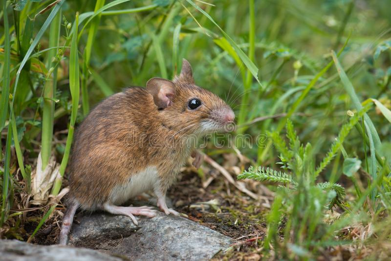 Maus in der Wiese stockfotos