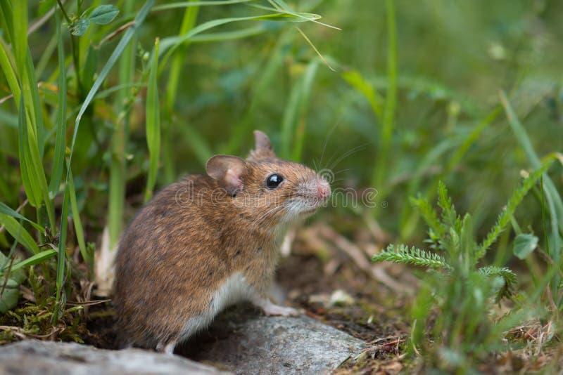 Maus in der Wiese stockbild