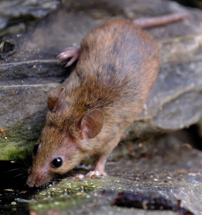 Maus, die nach Lebensmittel im städtischen Hausgarten sucht stockbilder
