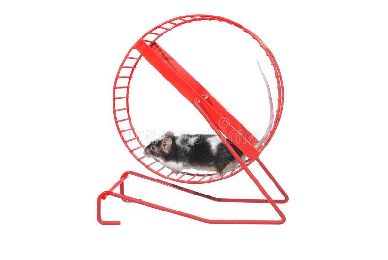 Maus im rotierenden Rad stockfotografie