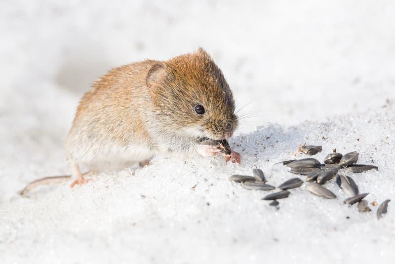 Maus im Schnee lizenzfreie stockfotos