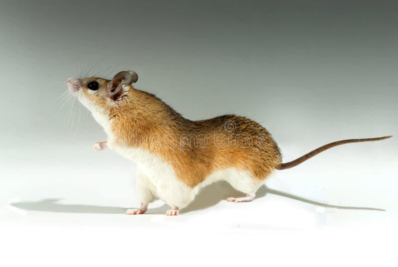 Maus-Mutant mit sechs Tatzen vektor abbildung