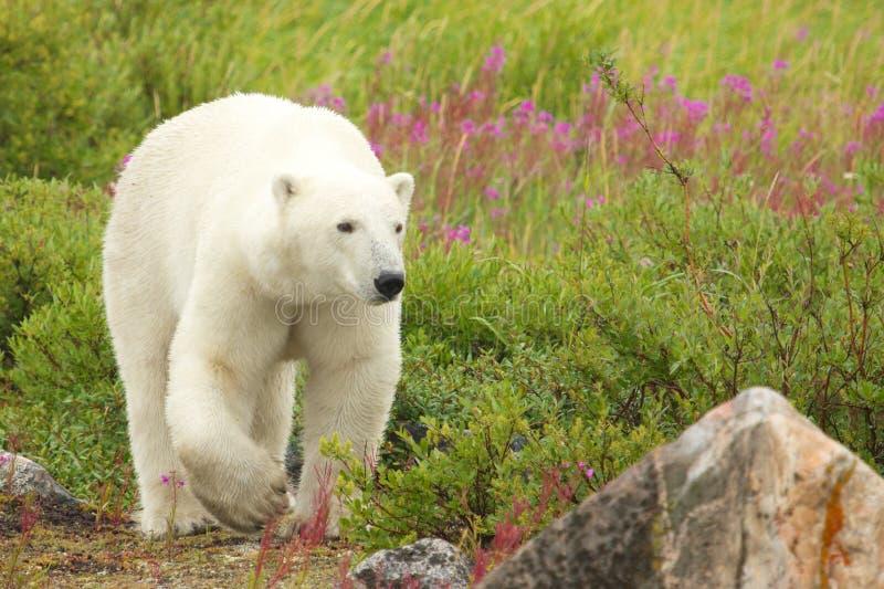 Mauvaise herbe 4 d'ours blanc et de feu photo stock