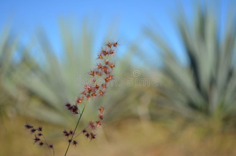 Mauvaise herbe dans les domaines bleus d'agave photo libre de droits
