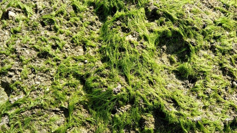 Mauvaise herbe verte image libre de droits
