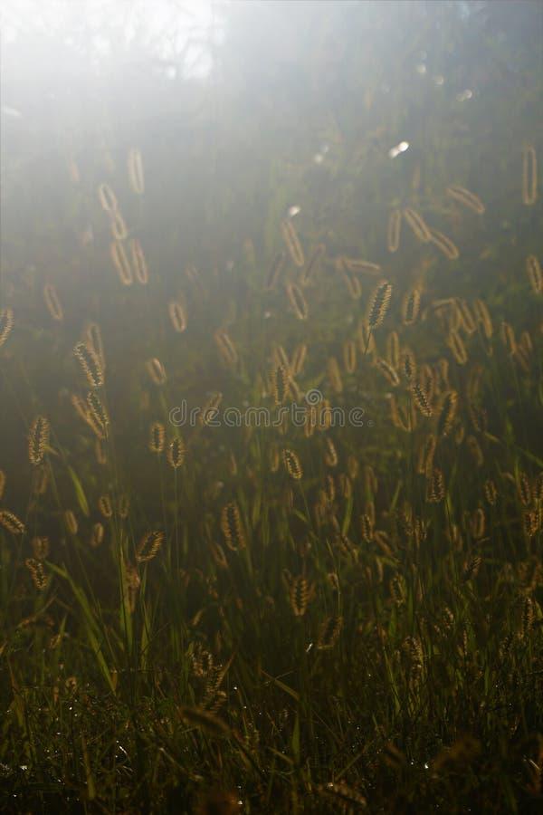 Mauvaises herbes éclairées à contre-jour jaunes photos stock