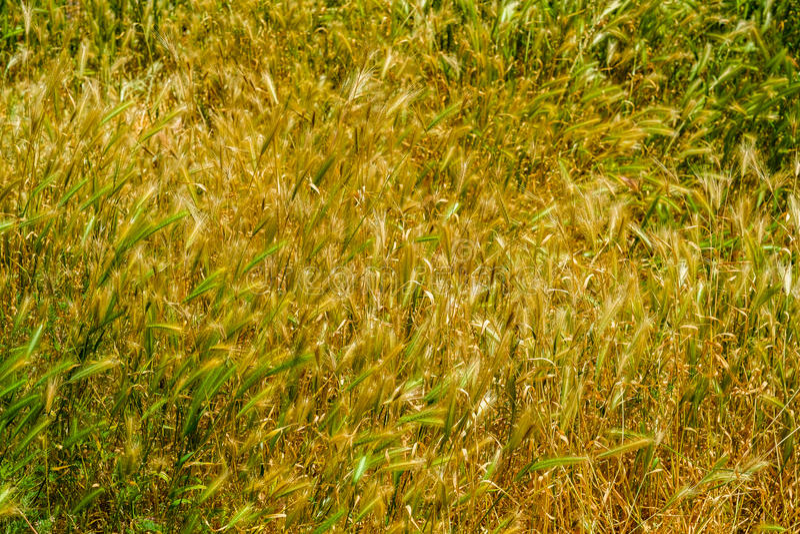 Mauvaises herbes assez effilées photo stock