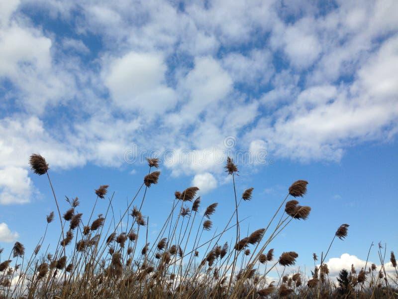 Mauvaises herbes au-dessous d'un ciel bleu avec des couds photo libre de droits