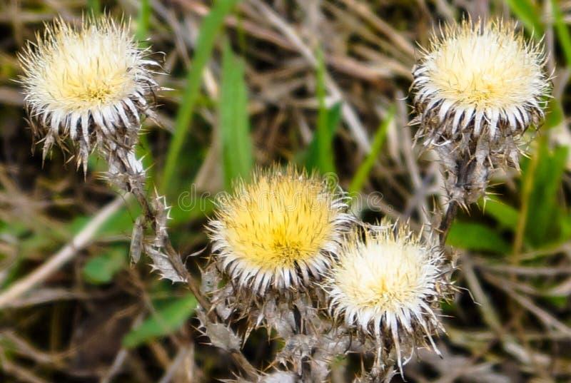 Mauvaises herbes de fleur d'usine photos stock