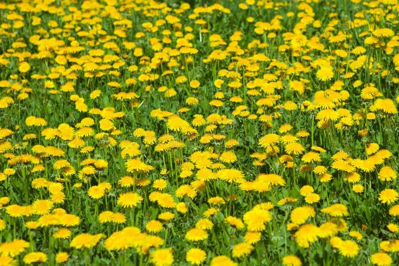 Mauvaises herbes de pissenlit de ressort images libres de droits