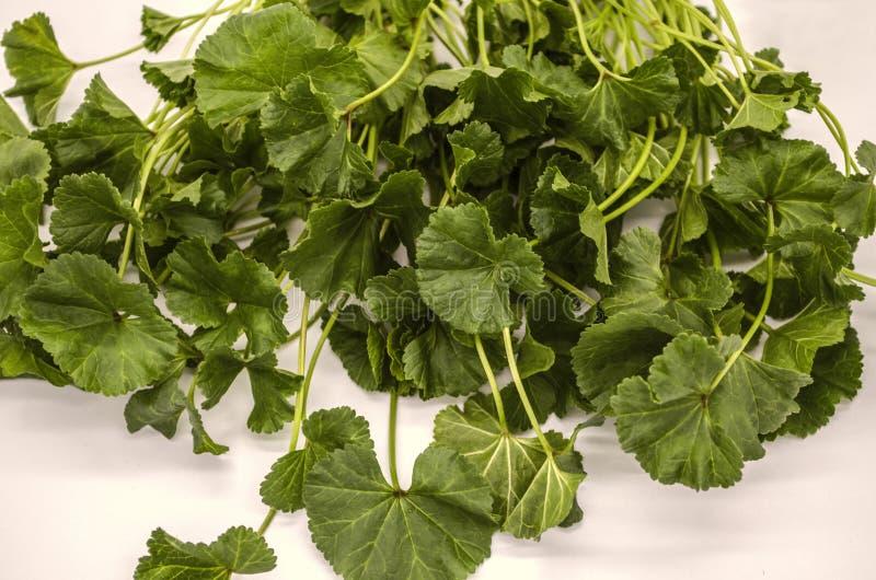 Mauve arménienne les premières feuilles de ressort de tiges des herbes culture basses utilisées en nourriture images stock