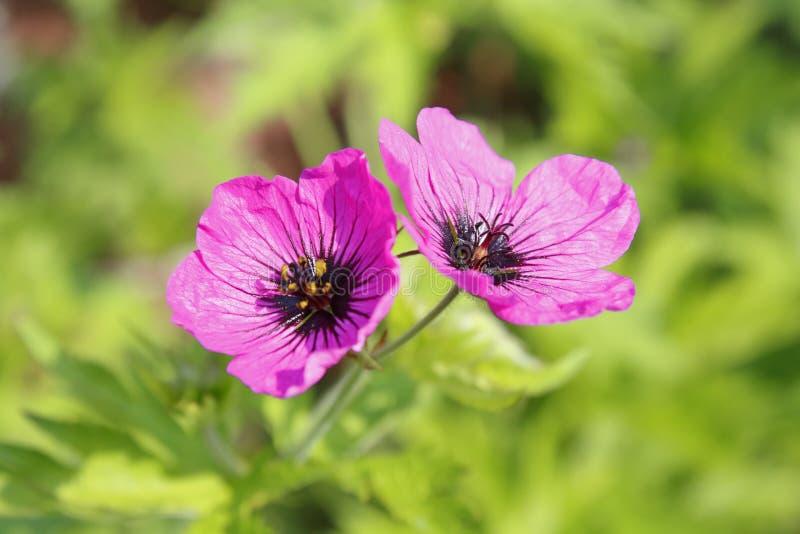 mauve, bec arménien violet de cigogne, psilostemon de géranium photographie stock