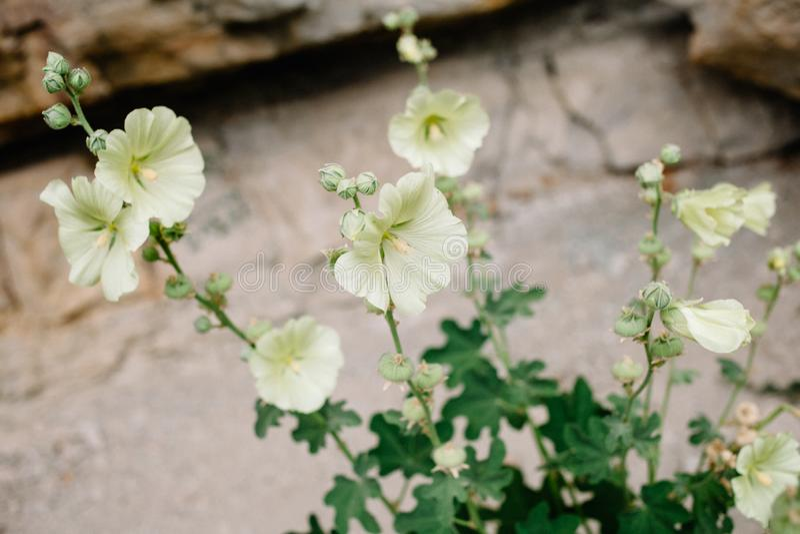 Mauve de floraison Belles fleurs de mauve jaune sur le fond des roches images stock