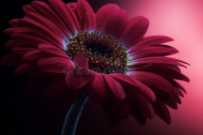 Mauve Flower Composition 1. Colorful closeup shot of a single flower, dominated by mauve stock photos