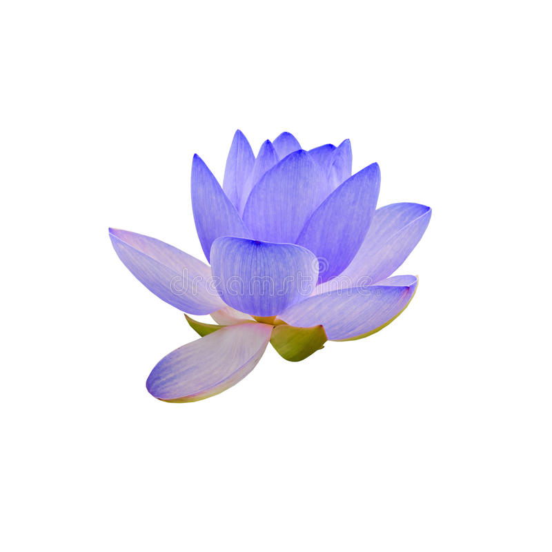 Mauve nuphar die bloem, waterlelie, vijver-lelie, spatterdock, Nelumbo-nucifera, ook als Indische lotusbloem wordt bekend royalty-vrije stock fotografie