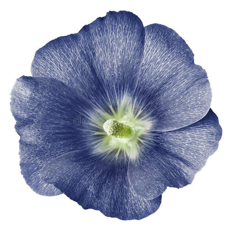Mauve Terry fond blanc d'isolement par fleur bleu-clair Pour la conception Plan rapproché photographie stock libre de droits