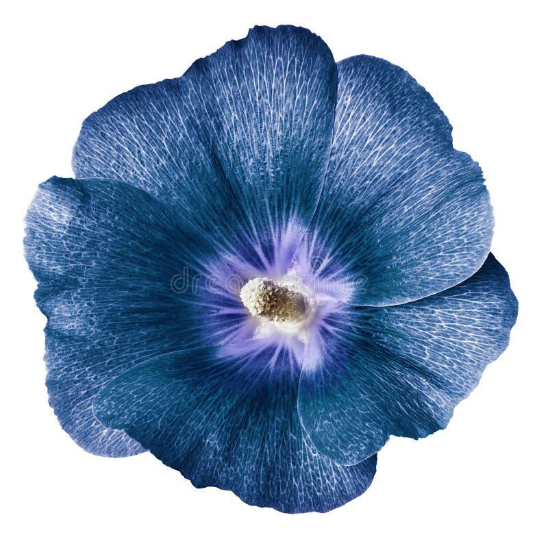 Mauve Terry fond blanc d'isolement par fleur bleue Pour la conception Plan rapproché images libres de droits