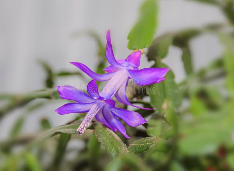 Mauve, violet Schlumbergera truncata flower, Christmas. And Thanksgiving cactus, Craciunel royalty free stock photo