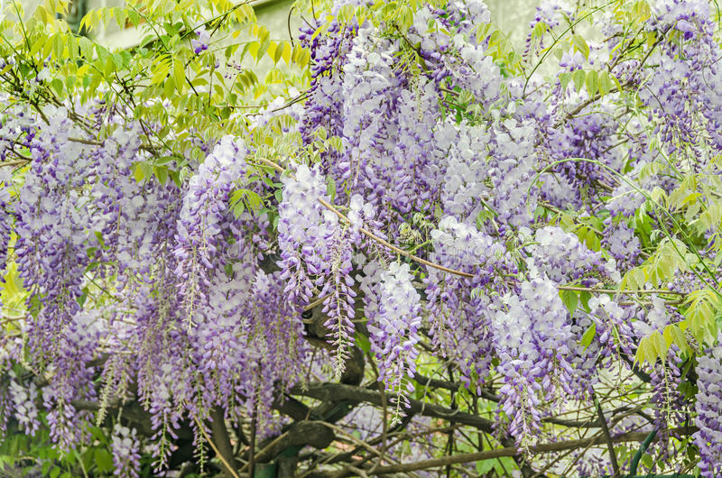Mauve Wisteria sinensis (Chinese wisteria), Glicina tree flowers, close up.  stock images