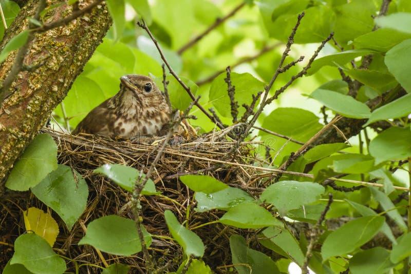 Mavis mit Küken im Nest lizenzfreie stockfotografie
