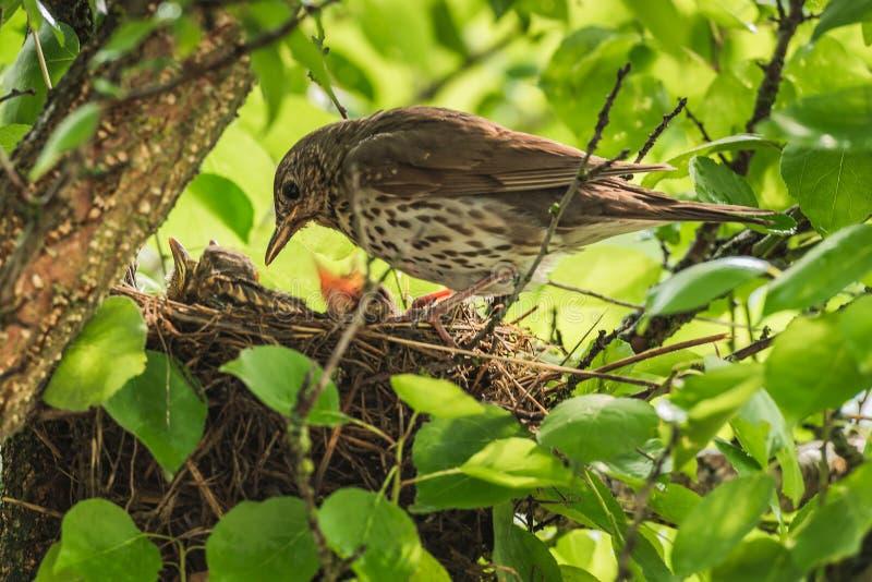 Mavis mit Küken im Nest lizenzfreie stockfotos