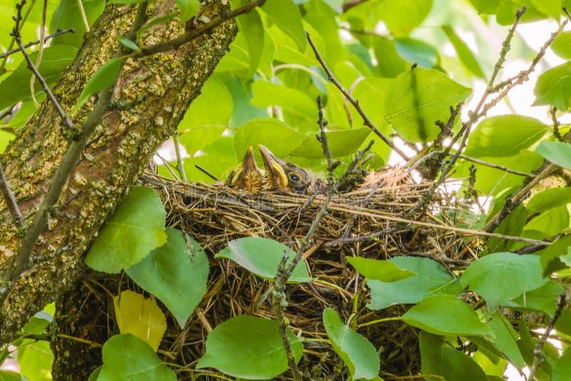 Mavis mit Küken im Nest stockfotos