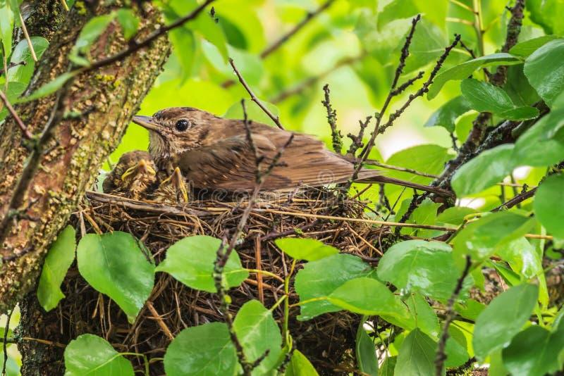 Mavis mit Küken im Nest lizenzfreie stockbilder