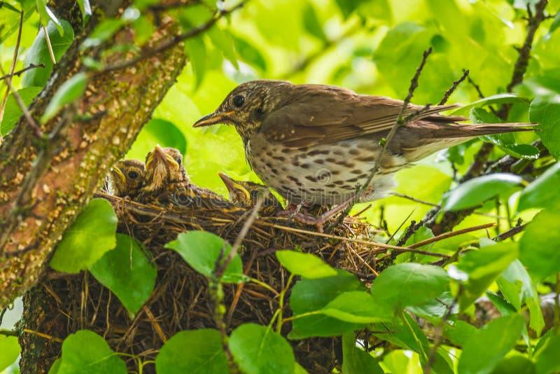 Mavis mit Küken im Nest stockfotografie