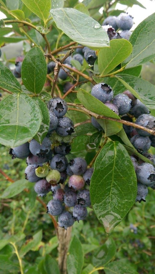 Maviyemis蓝莓Nuhoglu基础, Hayrat,特拉布松,土耳其 免版税库存照片