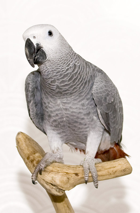 Max the african grey royalty free stock photography