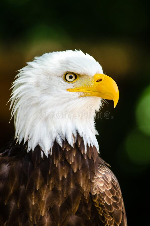 Max the bald eagle stock photography