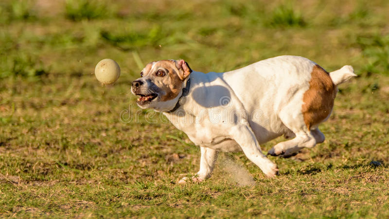 Max - my ball crazy best friend! stock photos