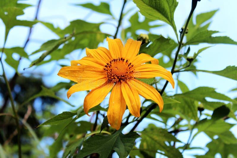 maxican zonnebloem royalty-vrije stock afbeelding