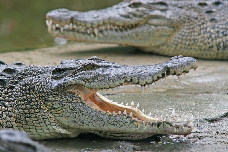 Maxilas do crocodilo foto de stock