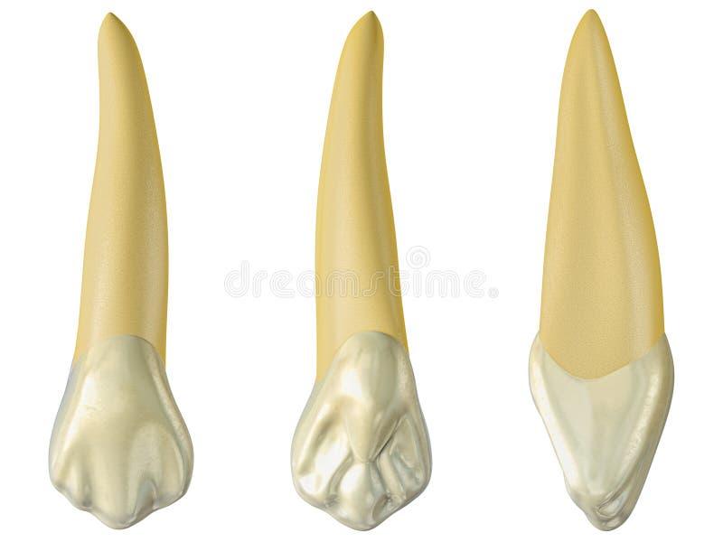 Maxillary hoektand in de mond, palatale en zijmeningen Realistische 3d illustratie van maxillary hoektand vector illustratie