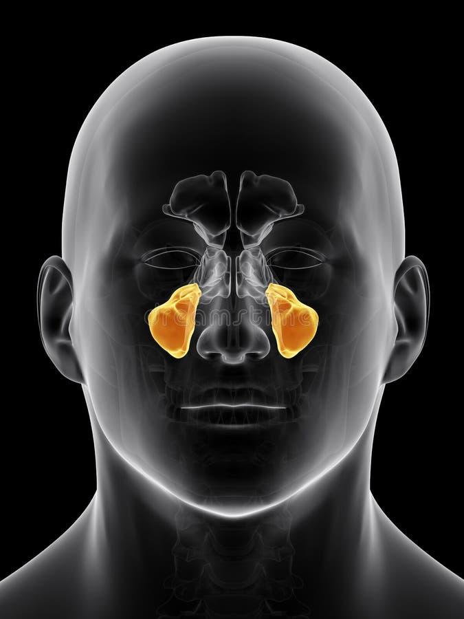 The maxillary sinus stock illustration. Illustration of anatomical ...