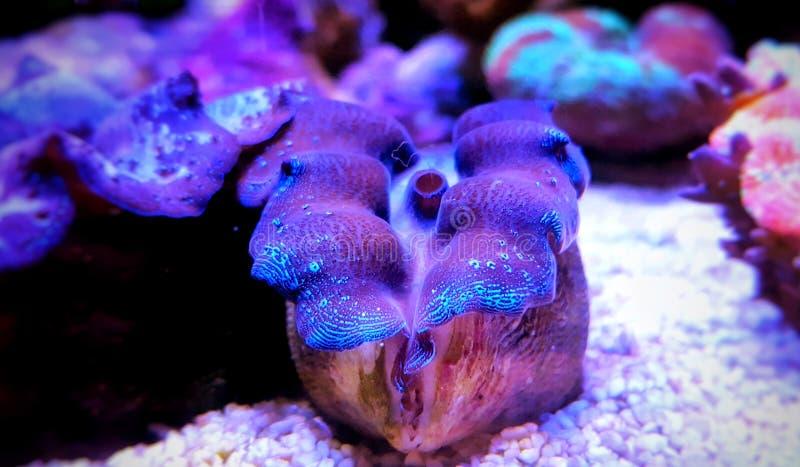Maxima Clam coloriu - máximos do Tridacna foto de stock