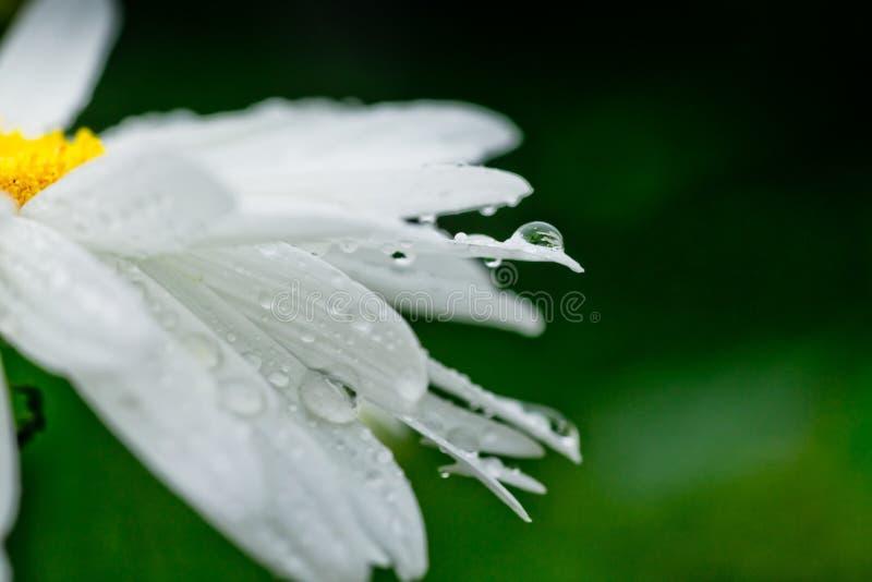 Maximal Shasta för Leucanthemum tusensköna, maximal krysantemum, galen tusensköna, tusenskönahjul, tusenskönakedja, chamomel, lig fotografering för bildbyråer