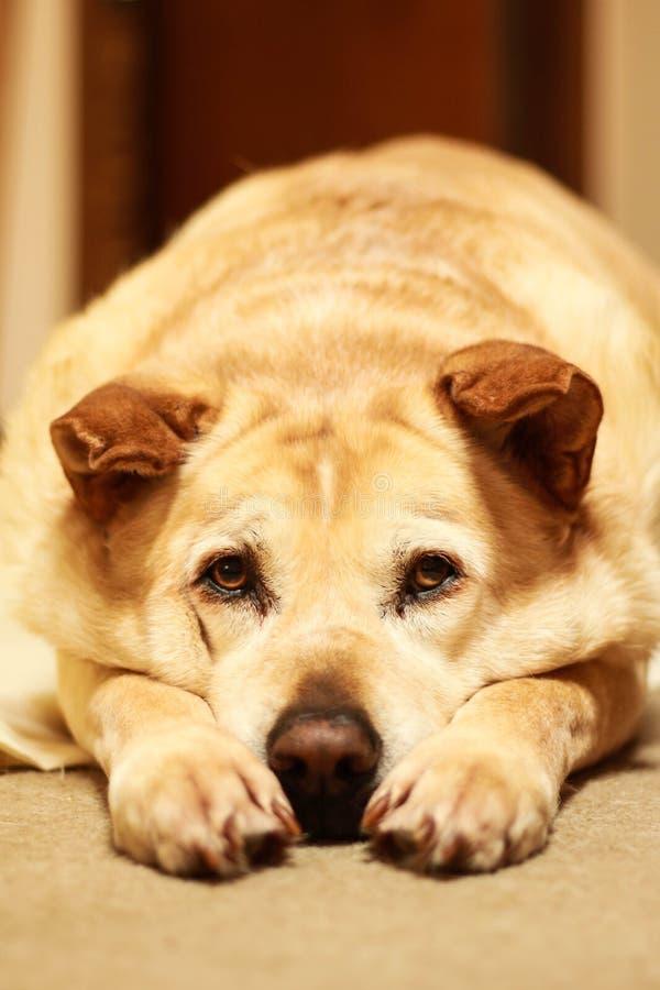 Maximum de Hond royalty-vrije stock afbeelding