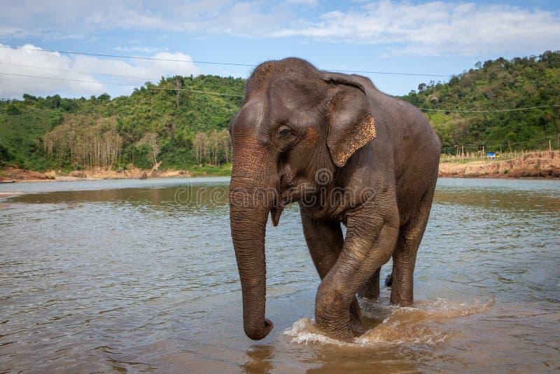 Maximus Elephas азиатского слона идя в реку флота около Luang Prabang стоковые фотографии rf