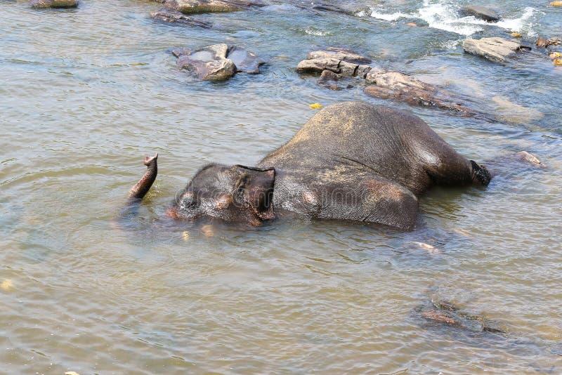 Maximus Elephas азиатского слона купая в реке стоковые фото