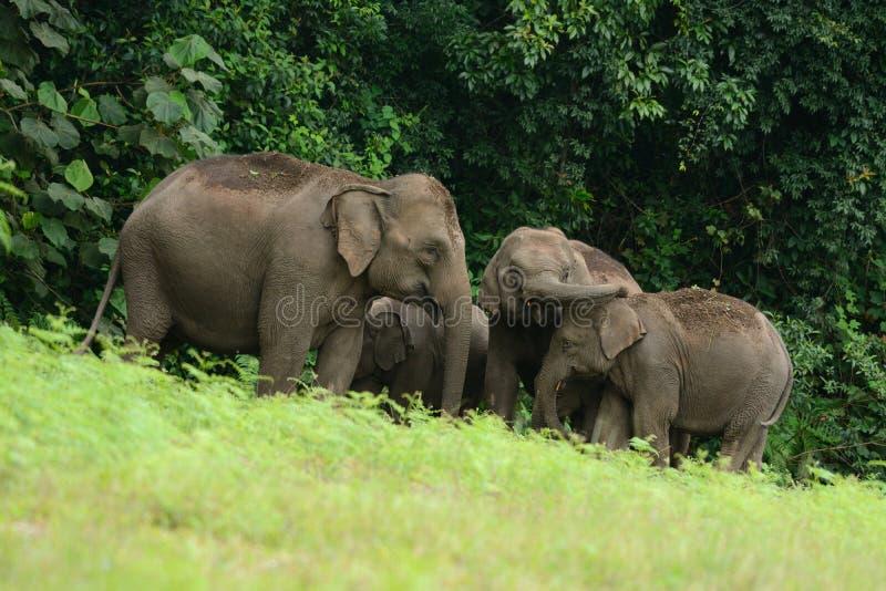 maximus elephas азиатского слона стоковая фотография