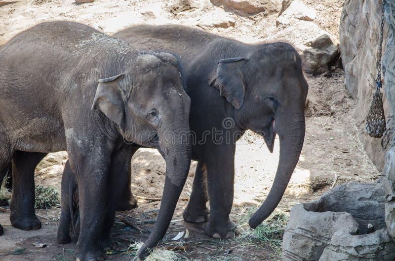 Maximus Elephas семьи азиатского слона, единственный живущий вид рода Elephas и распределено в Юго-Восточной Азии стоковое фото rf